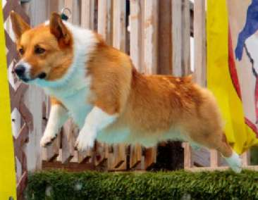 Pembroke Welsh corgi, Nova Scotia Duck Tolling Retriever